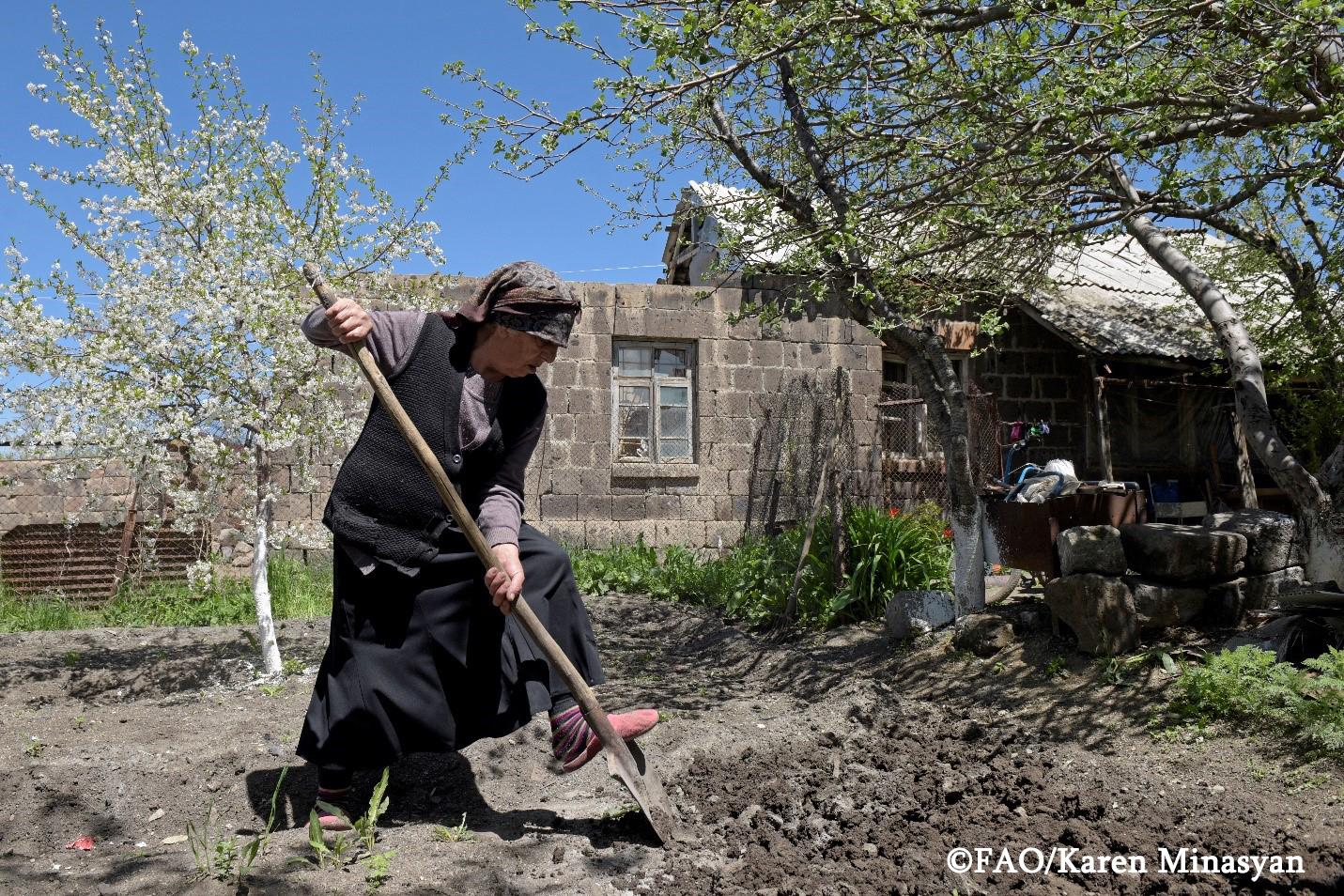 Տարեց կինը մշակում է իր այգին։